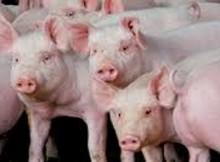 matrizes porcos